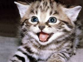 21811-cats-laughing-cat2
